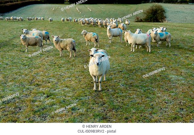 Portrait of curious sheep on field hillside