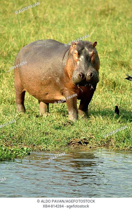 Hippopotamus, Murchison Falls National Park, Uganda
