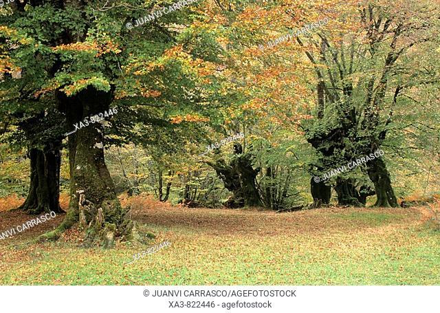 Beeches at autumn, Selva de Irati, Navarra, Pyrenees, Spain