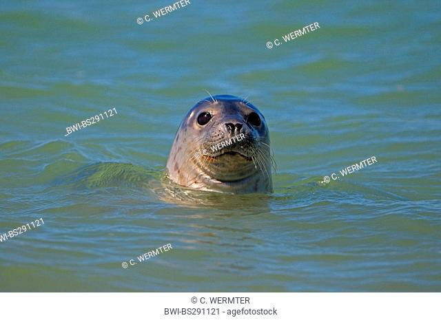 gray seal (Halichoerus grypus), swimming, Germany, Schleswig-Holstein, Heligoland