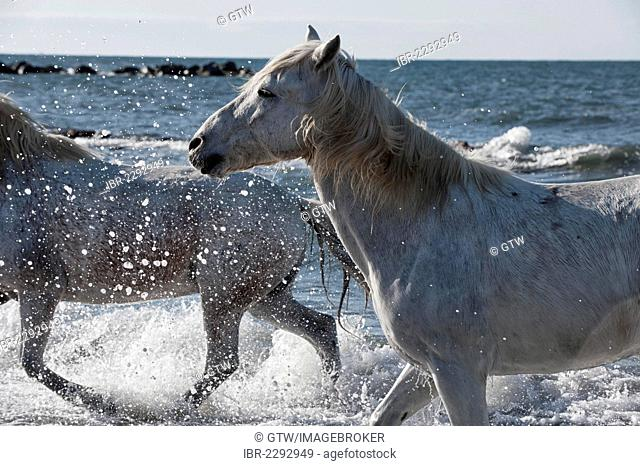Camargue horses running in the water, Bouches du Rhône, France, Europe