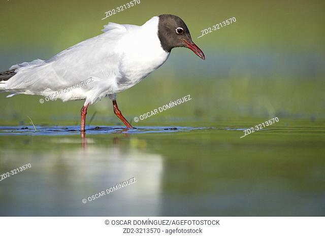 Black-headed Gull (Chroicocephalus ridibundus) adult in summer plumage in shallow water. Lubana Wetland Complex. Latvia