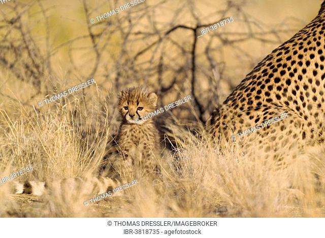 Cheetah (Acinonyx jubatus), male cub, 40 days, next to mother, captive, Namibia
