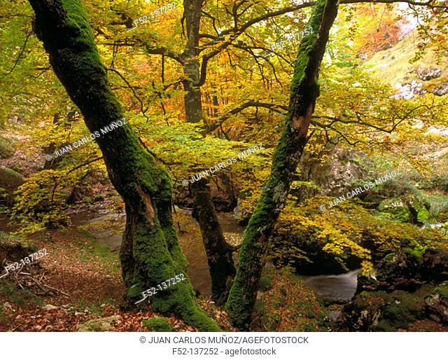 Beech tree forest. Valderejo Natural Park. Álava. Spain