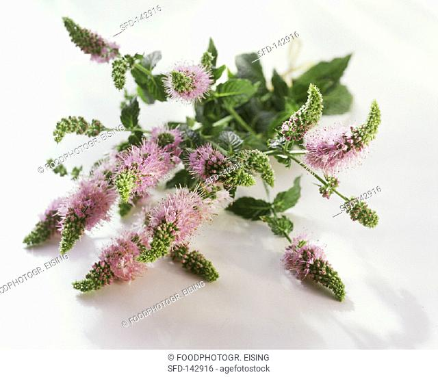 Mint flowers and leaves on white background (1)