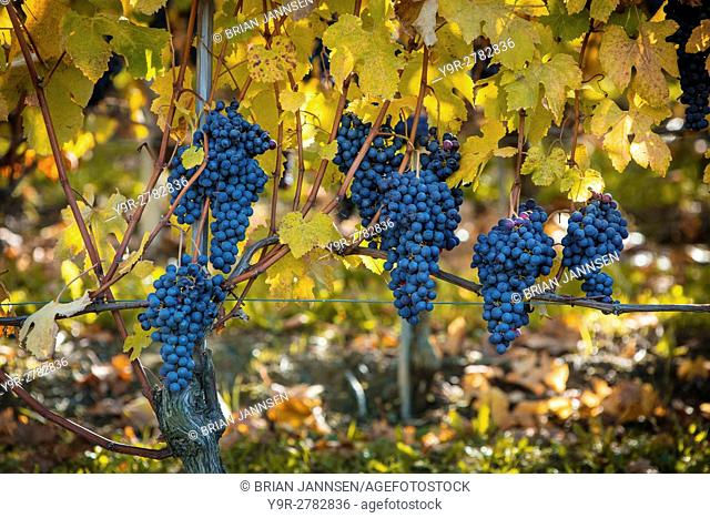 Nebbiolo grapes ready for harvest, Barolo, Piemonte, Italy