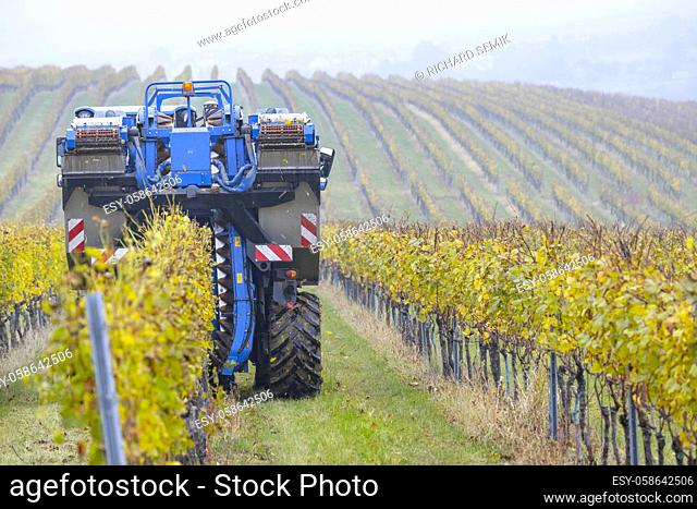 harvesting grapes with a combine harvester, Southern Moravia, Czech Republic