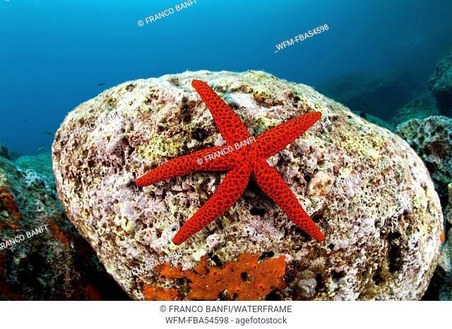 Red Seastar, Echinaster sepositus, Dubrovnik, Adriatic Sea, Croatia