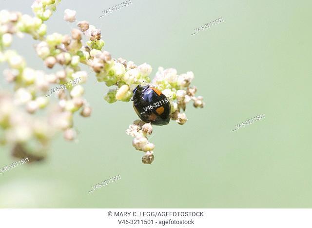 Two-spot ladybird, Adalia bipunctata var. maculata. Black variant of the red 2spot Ladybird