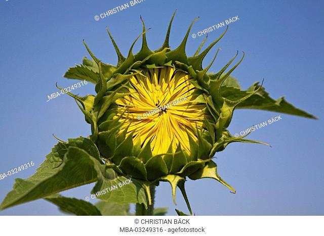 Sunflower, Provence, France