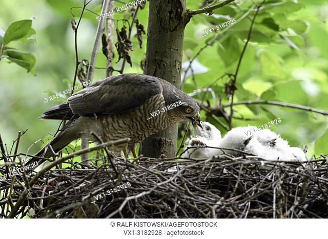 Sparrowhawk ( Accipiter nisus ), female standing on its eyrie, feeding its hatchlings, young chicks, wildlife, Europe
