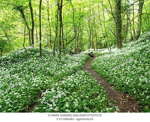 Footpath through Wild Garlic in Skipton Castle Woods in Spring, Skipton, North Yorkshire, England