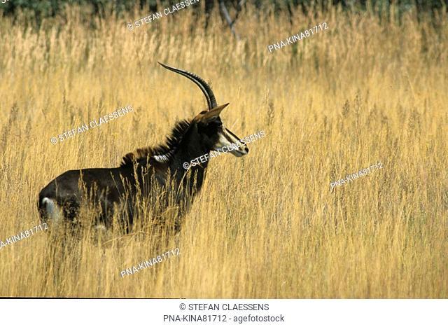 Sable antelope Hippotragus niger - Matopos national park, Matobo Hills, Bulawayo, Zimbabwe, Africa