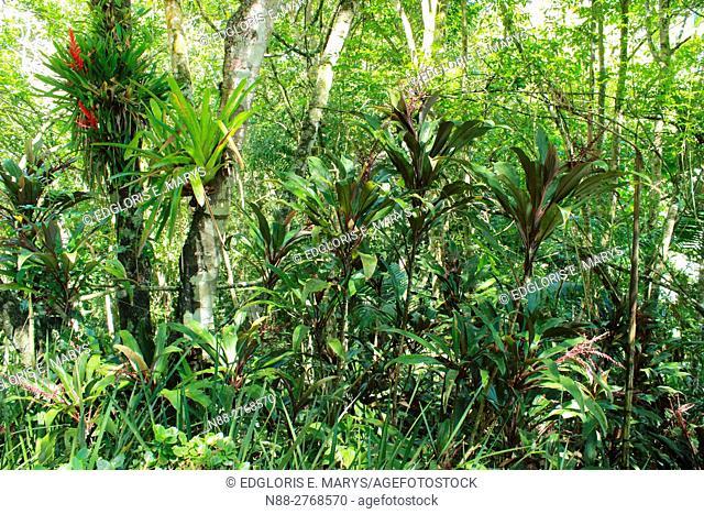 Forest in Topotepuy gardens, Oripopo, Caracas, Venezuela