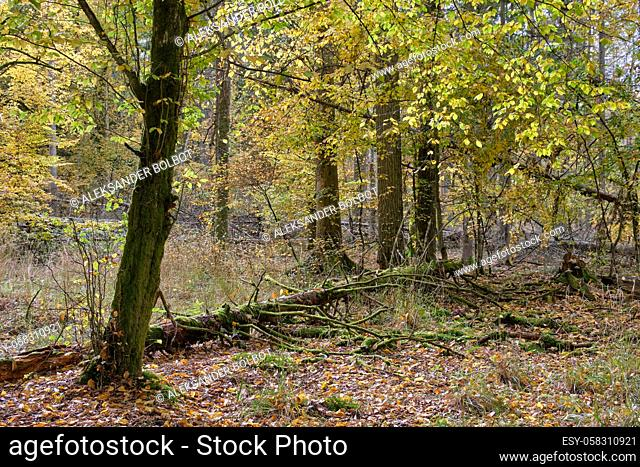 Autumnal deciduous tree stand with hornbeams and broken tree moss wrapped, Bialowieza Forest, Poland, Europe