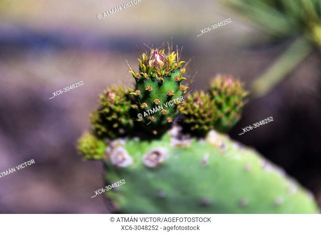 Prickly pear plant. Tenerife, Canary Islands, Spain