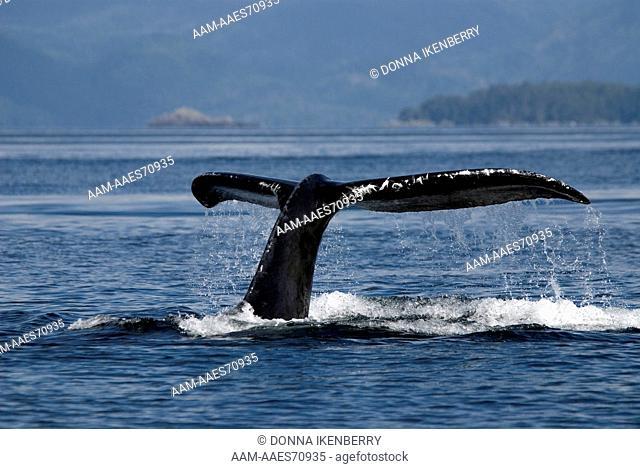 Humpback Whale, Megaptera novaeangliae, Sitka Sound, Alaska, Aug 2007