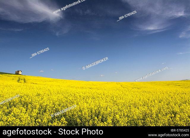 Flowering rape field, Limagne, Department of Puy de Dome, Auvergne Rhone Alpes, France, Europe