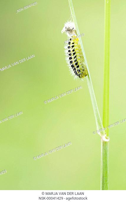 Caterpillar Six-spot Burnet (Zygaena filipendulae) resting on stem, The Netherlands, Gelderland