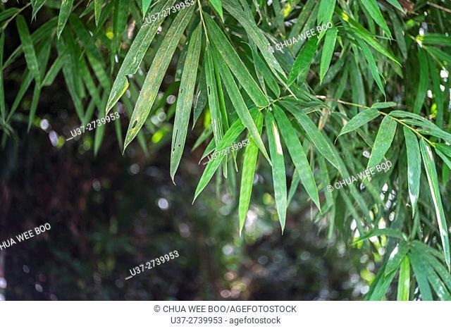 Bamboo leaves. Image taken at Kampung Skudup, Sarawak, Malaysia