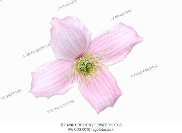 Clematis, Clematis Montana Wilsonii, Studio shot of single pink flower showing stamen