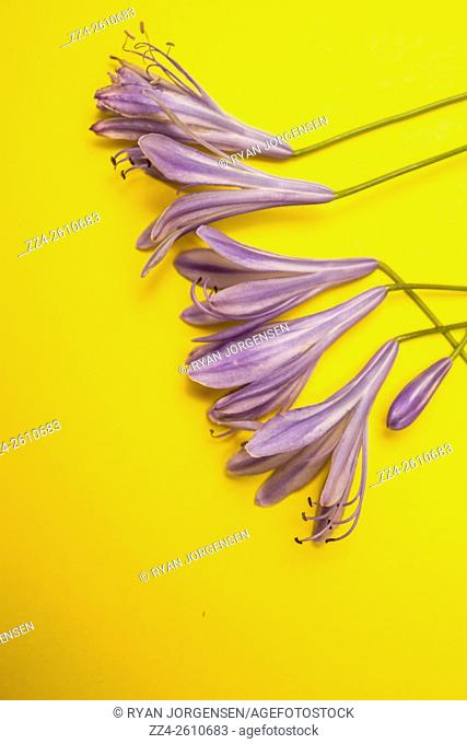 Studio still life on purple Agapanthus Flowers on bright yellow background. Aging spring details