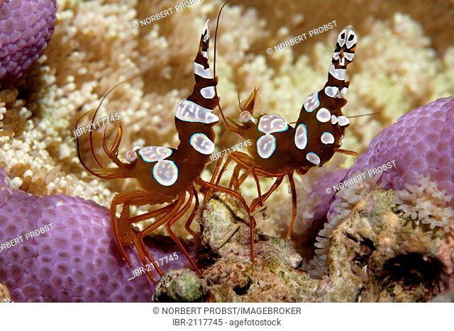 Two Sexy Shrimps (Thor amboinensis) sitting on Sticky Sucker Anemone (Cryptodendrum adhaesivum), Great Barrier Reef, UNESCO World Heritage Site, Queensland