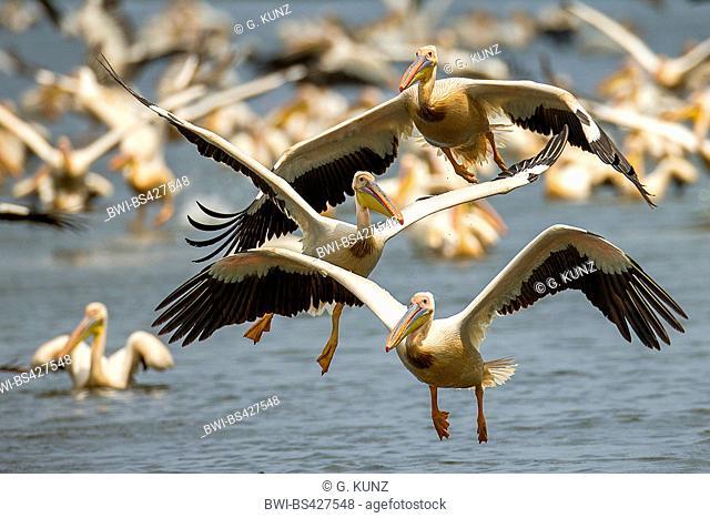 eastern white pelican (Pelecanus onocrotalus), three palicans in flight in front of a swimming flock, Romania, Danube Delta