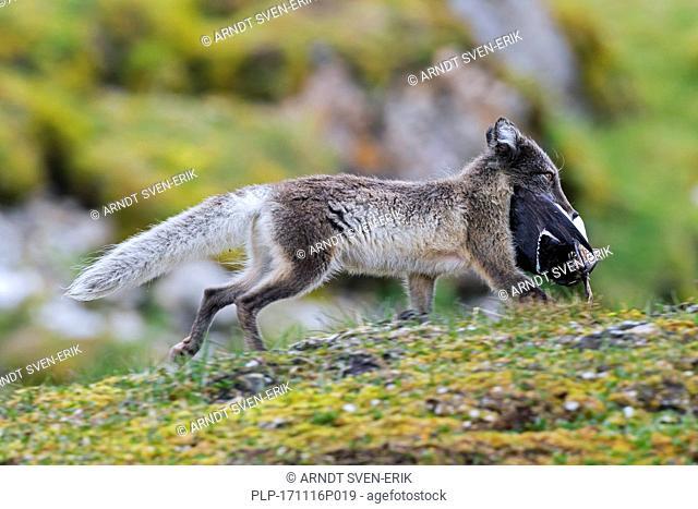 Arctic fox / white fox / polar fox / snow fox (Vulpes lagopus / Alopex lagopus) running with caught seabird in mouth on the tundra in summer