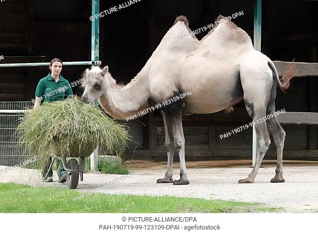19 July 2019, Hamburg: Christin Zimmer, animal keeper, brings grass to the camels in Hagenbeck's zoo, which was previously mown on the grounds of Hamburg...