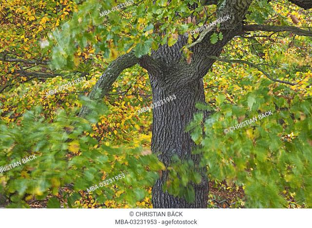 Oak in autumn, Saxon, Germany