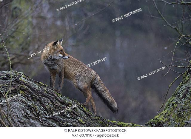 Red Fox ( Vulpes vulpes ) adult, wet winterfur, climbed on a tree, standing, looks back, on a rainy day, at dawn, side view, wildlife, Europe