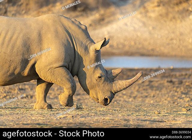 Africa, Namibia, Private reserve, White rhinoceros or square-lipped rhinoceros (Ceratotherium simum) , Adult, captive