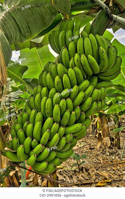 Banana plantation Tazacorte. La Palma. Canary Islands. Spain