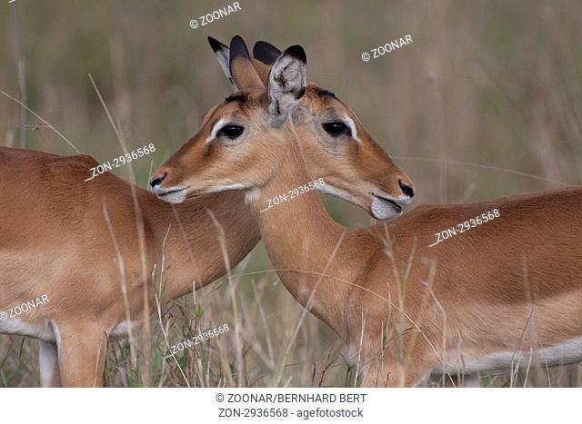 Doppelportrait Impala antilope