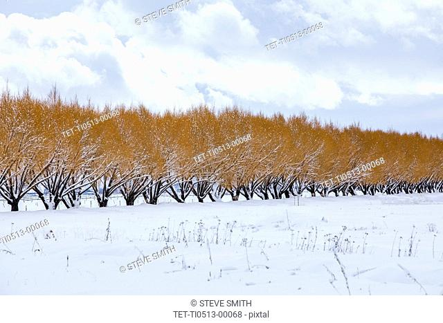 Row of trees with brown leaves in winter