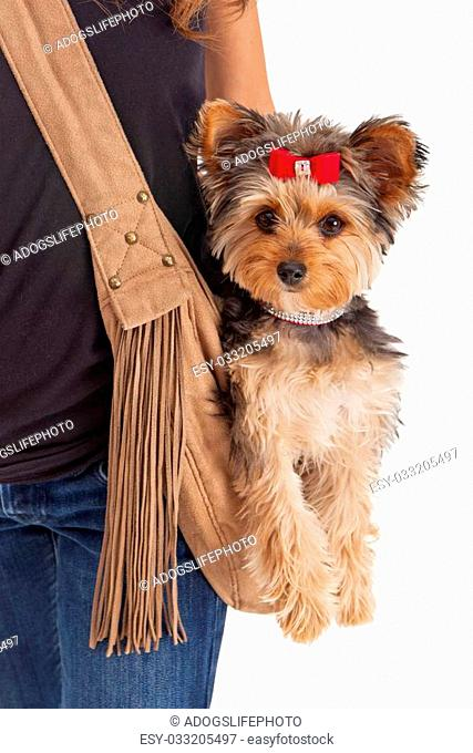 A spolied small Yorkshire Terrier dog sitting in a suede carrier that is being worn by a woman that is standing against a white backdrop