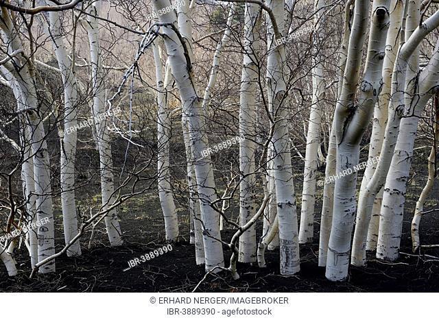 Etna Birches (Betula aetnensis), Parco dell'Etna, Sicily, Italy