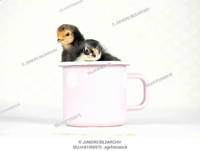 Domestic chicken, Vorwerk chicken (left) and Vorwerk chicken x Leghorn chicken. Chicks (2 days old) in a mug Studio picture. Germany
