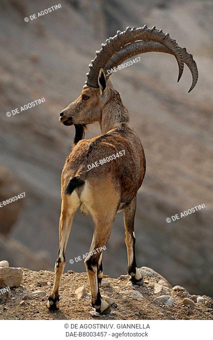 Nubian ibex (Capra ibex Nubian), Bovidae, Ein Gedi Nature Reserve, Israel