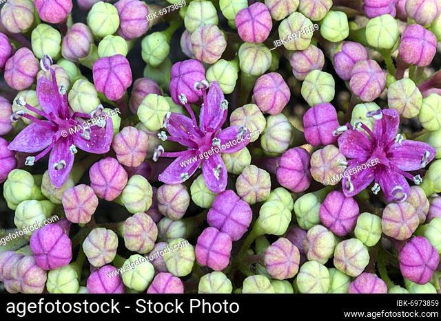 Bigleaf Hydrangea (Hydrangea macrophylla), inner flower buds, macro photo, Baden-Württemberg, Germany, Europe