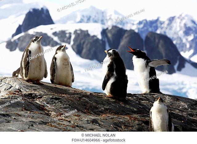 Gentoo Penguin Pygoscelis Papua creche protective group of chicks while parents are at sea feeding Antarctic Peninsula
