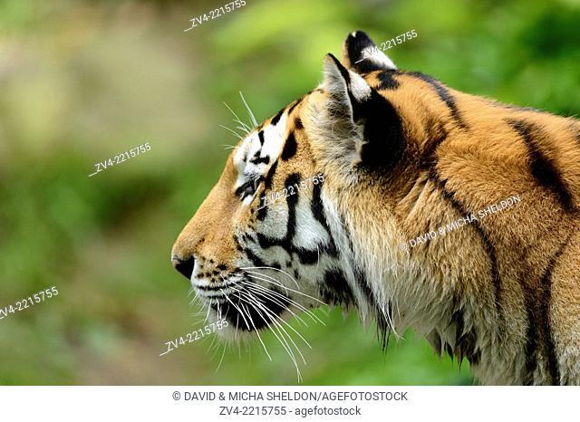 Close-up of a Siberian tiger or Amur tiger (Panthera tigris altaica) in spring