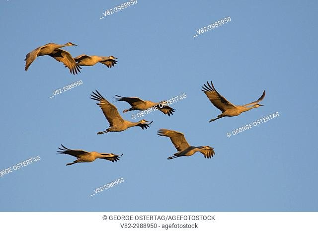 Sandhill cranes in flight, Bernardo Wildlife Management Area, New Mexico