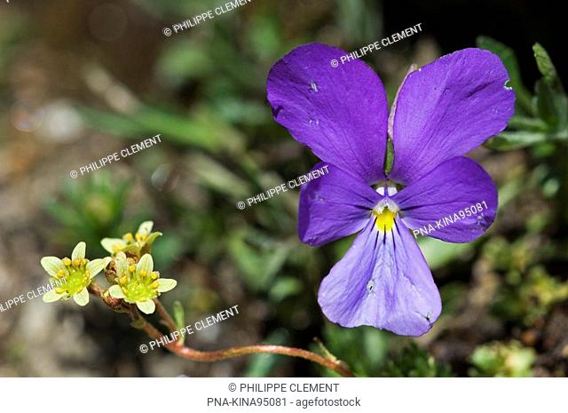 Spurred Viola Viola calcarata - Gran Paradiso National Park - Parco Nazionale del Gran Paradiso, Alps, Valle d'Aosta, Italy, Europe