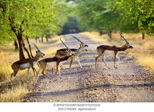 A herd of black buck (Antilope cervicapra) crossing the road at Velavdar Sanctuary Gujarat India