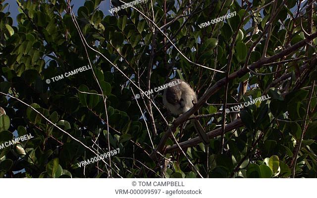 Mockingbird Mimus polyglottos in trees. Everglades NP, Florida, USA