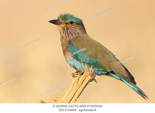 Indian Roller (Coracias benghalensis), Perched on piece of wood, Qurayyat, Muscat Governorate, Oman