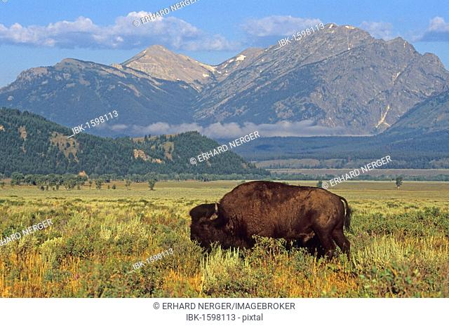 Bison (Bison bison) in front of the Grand Teton Mountains, United States