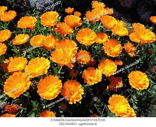 Common marigold (Calendula officinalis). Catalonia, Spain